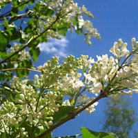 Белая сирень тянется к небу :: Елена Семигина