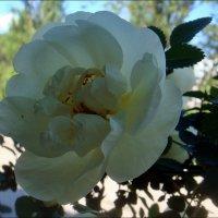 Белая роза скрывает грусть... :: Нина Корешкова