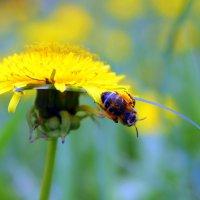 Одуванчик золотой пчелы в дружбе все с тобой. :: Валентина ツ ღ✿ღ