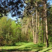 Весенний лес! :: Ирина Олехнович