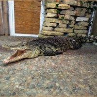Детеныш Нильского крокодила :: Вера