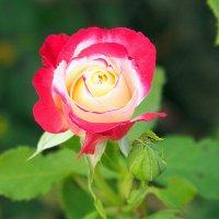 цветочные истории-роза :: Олег Лукьянов