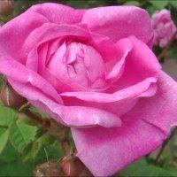 Открывая лепесток за лепестком, дышала роза... :: Нина Корешкова