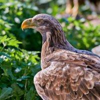 Орлан-белохвост :: олег