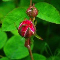 Бутон чайной розы. :: Любовь К.