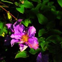 Цветущий Hibiscus :: Юрий Гайворонский