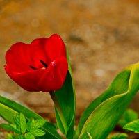 Красный тюльпан. :: Марина Никулина