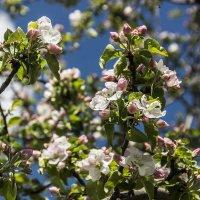 Яблони в цвету :: Виктор Х.