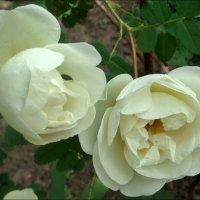 Белые розы :: Нина Корешкова