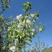 Яблони в цвету :: Лариса Рогова