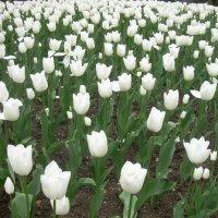 Белые тюльпаны на территории Ливадийского дворца :: татьяна