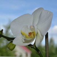 Моя орхидея :: Татьяна
