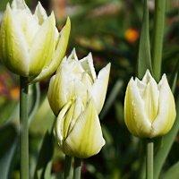 Тюльпаны :: Любовь Чунарёва