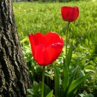 Тюльпаны :: Serega