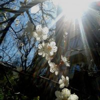 Цветение абрикоса :: Владимир Бочкарёв