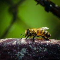 пчела :: Алина Гриб