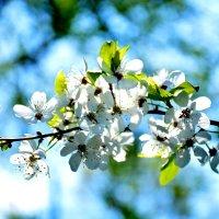 Алыча в цвету..... :: Валентина Папилова