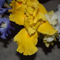 цветы ирисы :: Юрий