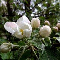 Яблоня цветет :: Сергей М