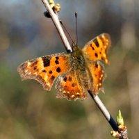 Бабочка :: Кристина Юричковская