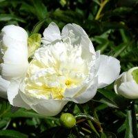 Воздушная роскошь цветка... :: Тамара (st.tamara)