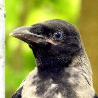 Молодая ворона 4 :: Сергей