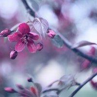 цветение яблонь в Коломенском :: Эльмира Суворова