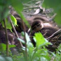 Спят усталые утята :: Валерий Самородов
