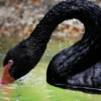 vit5 чёрный лебедь (вариант2) :: Vitaly Faiv