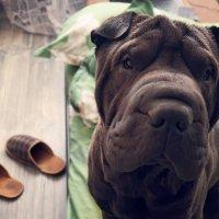 Домашние зарисовки: пес и тапочки :: Тата Казакова