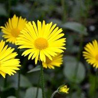 Жёлтые цветы. :: Михаил Столяров