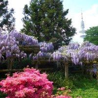 Парк цветов в мае (серия). Глициния и рододендрон :: Nina Yudicheva
