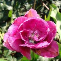 Тюльпан :: laana laadas