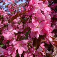 Розовая яблоня :: Лада Петрова