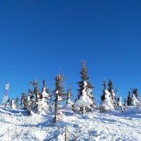 Елочки в снегу :: Юлия Зайцева