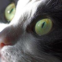 кошачий взгляд :: Елена Баландина