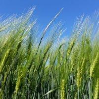 Пшеница колосится :: Валерий Розенталь