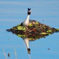 чомга на гнезде :: linnud