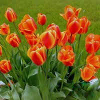 Тюльпаны, цветы весны... :: Marina Pavlova