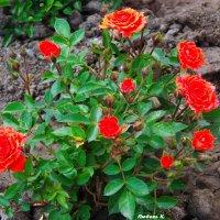 Карликовые розы... :: Любовь К.