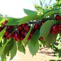 в черешневом саду :: vasya-starik Старик