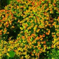 Молочай в саду...) :: Любовь К.