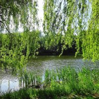 Ива над водой шумит зеленою листвой :: Маргарита Батырева