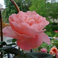 Розовый рай на моем балконе...... :: Galina Dzubina