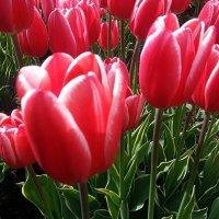Тюльпаны - красавцы Весны ! :: Наталья Денисова