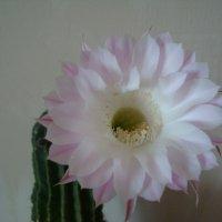 Один раз в год КАКТУС цветет... :: марина ковшова
