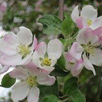 Яблоня в цвете :: novik Юрий Новиков
