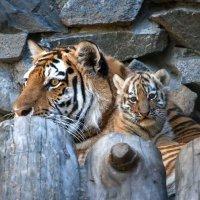 Амурские тигры :: Владимир Габов