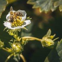 пчела :: ИрЭн Орлова