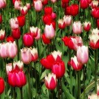 Фестиваль тюльпанов в ЦПКО :: Наталия Короткова